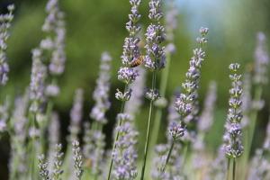 tuscany-lavendar